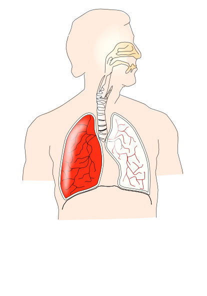 Unlabelled Respiratory System Clip Art at Clker.com.