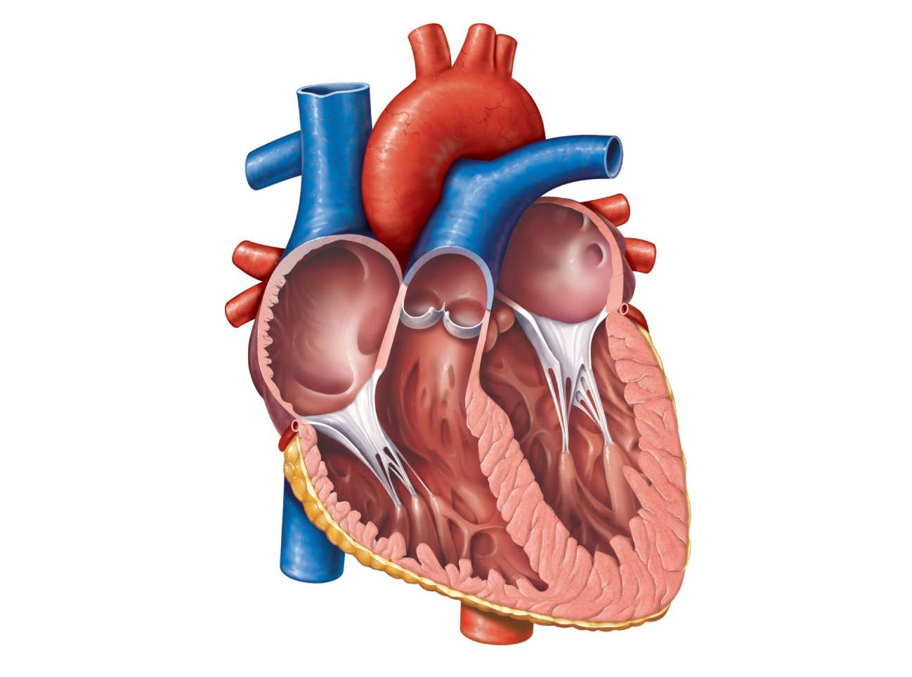 Unlabelled Diagram Of The Heart.