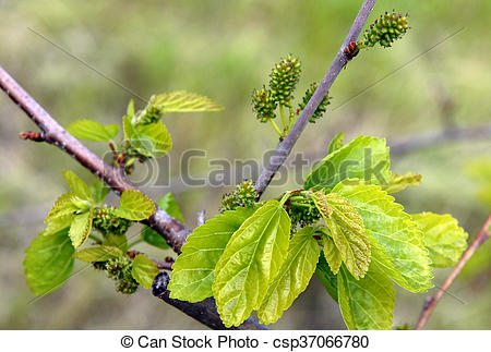 Pictures of Unripe Mulberry Berries.