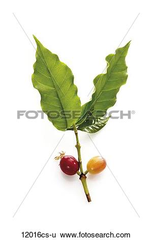 Stock Images of Coffee plant (coffea arabica) with ripe and unripe.