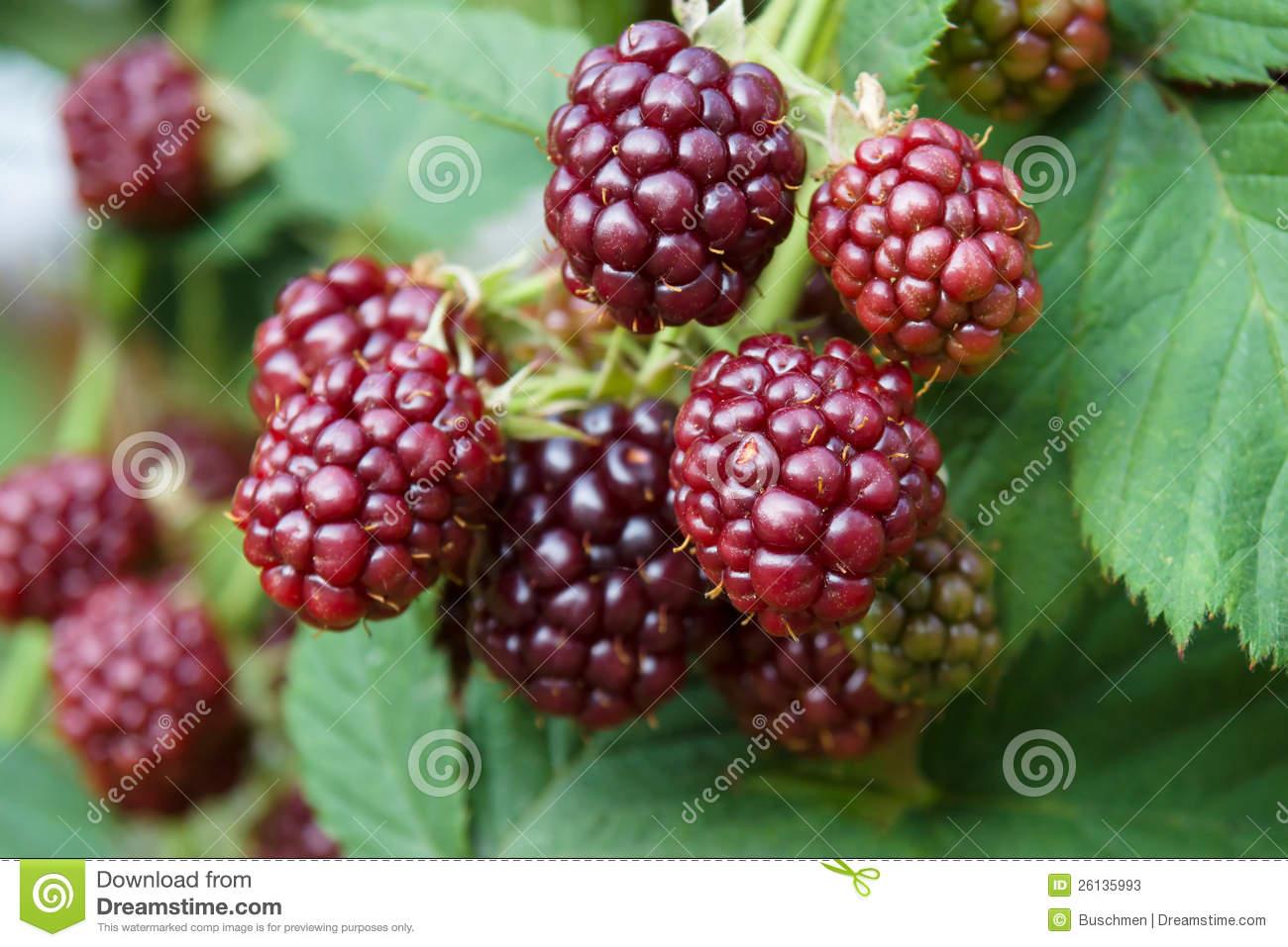 Unripe Blackberries. Stock Photos.