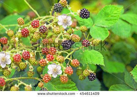 "unripe Berry"" Stock Photos, Royalty."