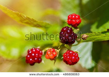 Unripe Berry Stock Photos, Royalty.