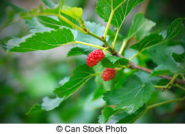 Picture of Unripe Mulberry Berries.