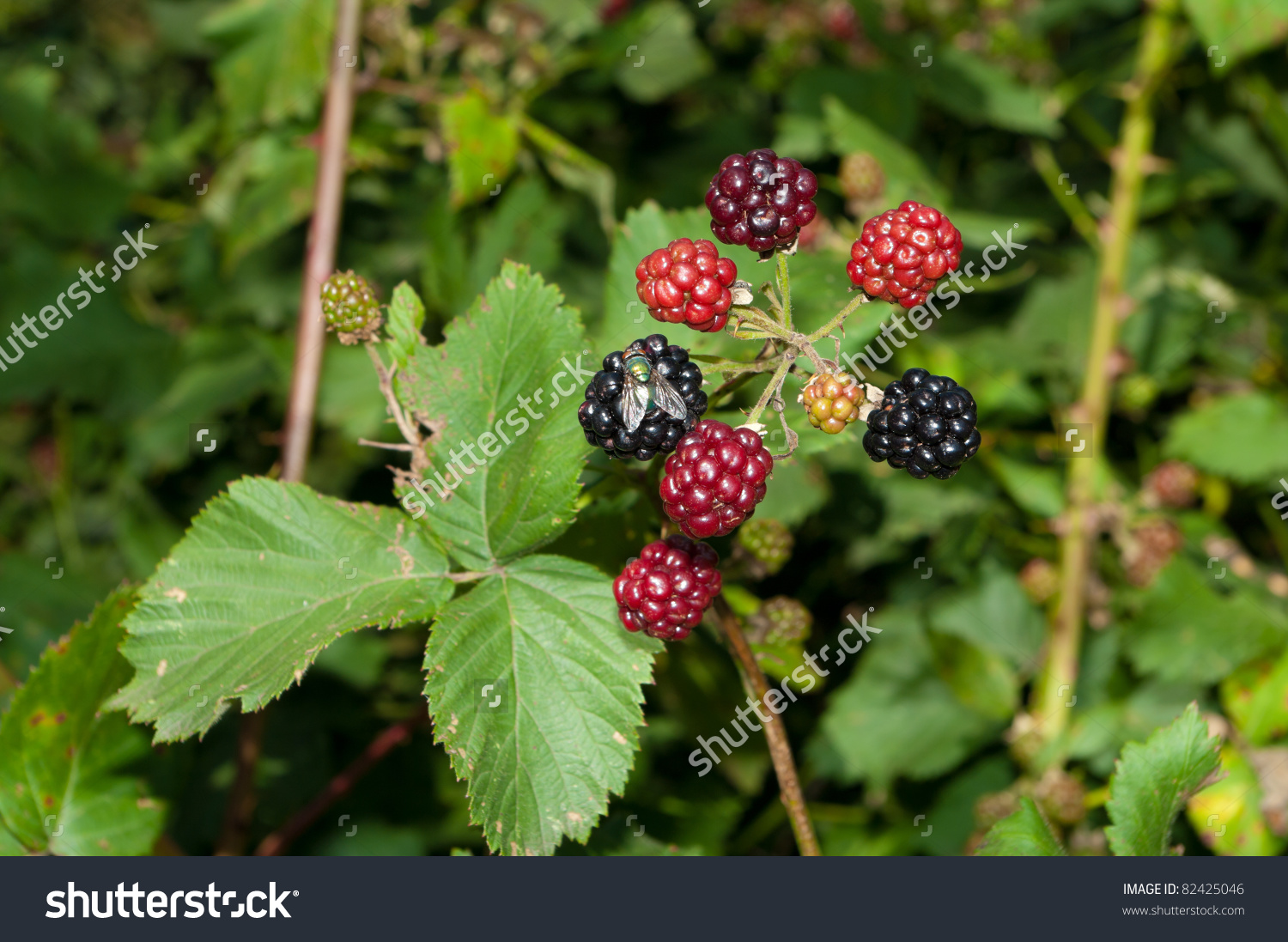 Blackberry Bush Ripe Unripe Berries Fly Stock Photo 82425046.