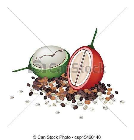 EPS Vector of Ripe and Unripe Coffee Berries with Coffee Beans.