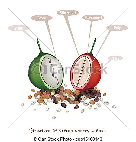 EPS Vector of Structure of Ripe and Unripe Coffee Berries.