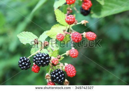 Blackberry Vine Stock Photos, Royalty.
