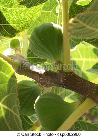 Stock Photography of wild figs.