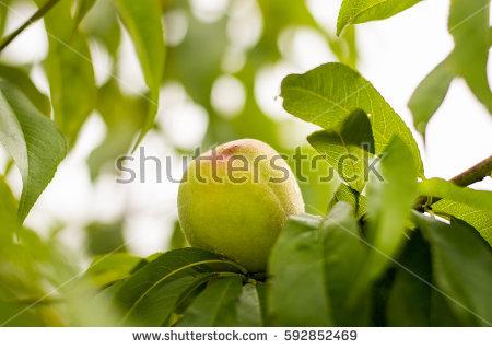 Unripe Fruit Stock Images, Royalty.