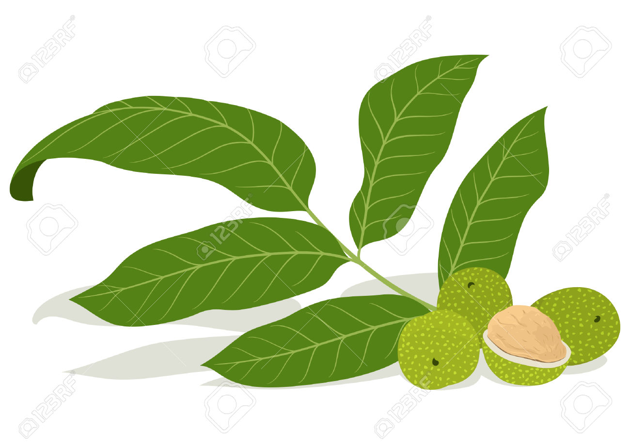 Walnut Leaves With Unripe Nuts Royalty Free Cliparts, Vectors, And.