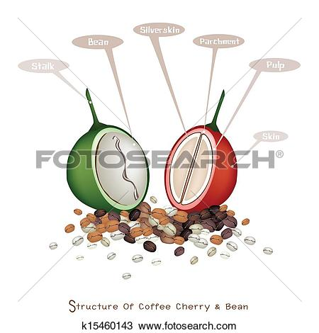 Clipart of Structure of Ripe and Unripe Coffee Berries k15460143.