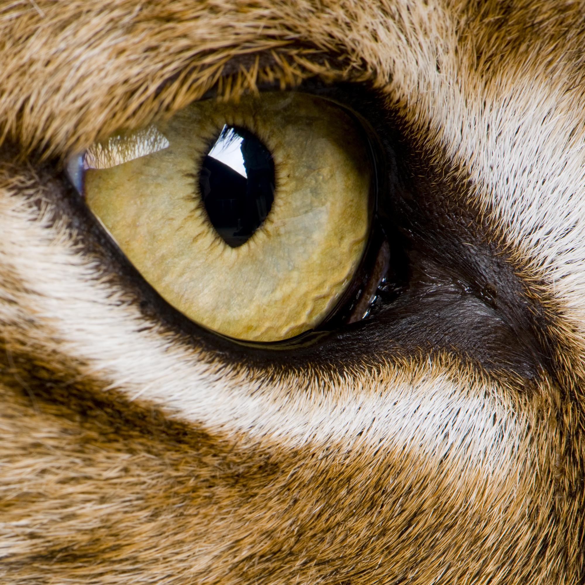 Cheetah eyes close up clipart.