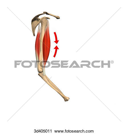 Clip Art of Lateral view of the upper arm illustrating the.