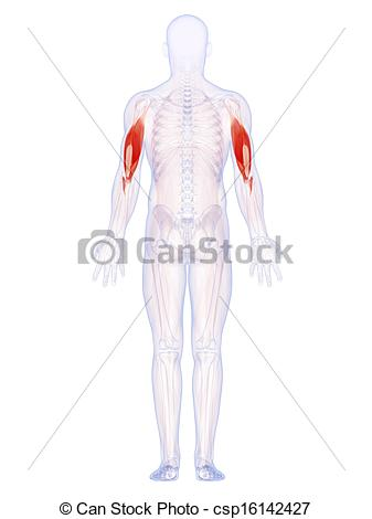 Clip Art of The upper arm muscles.