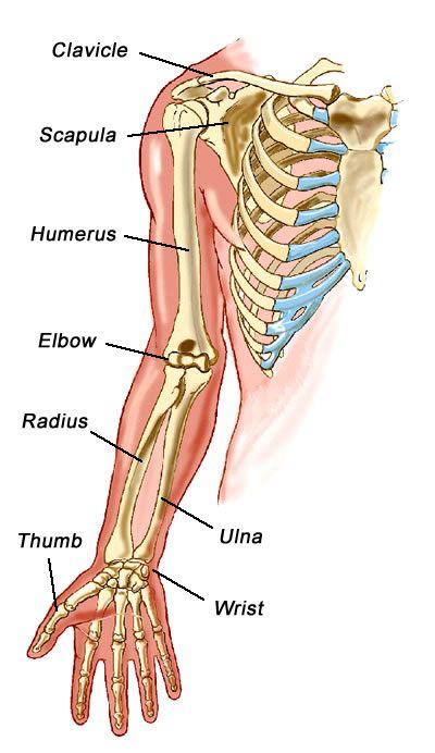 1000+ ideas about Arm Bones on Pinterest.