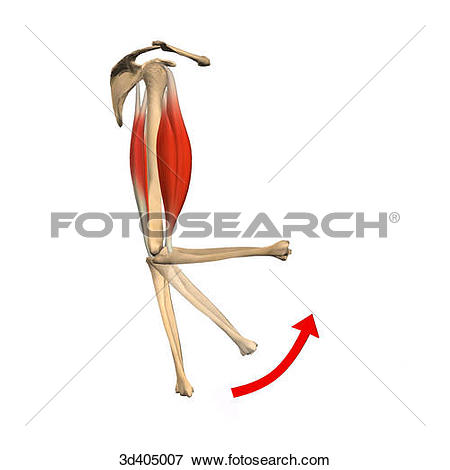 Stock Illustration of Lateral view of the upper arm in both an.