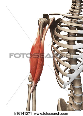 Clipart of The upper arm muscle k16141271.