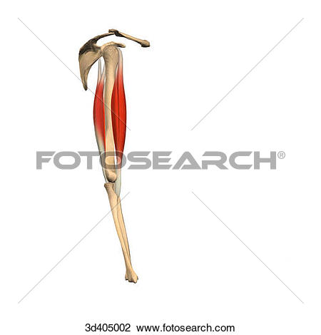 Clip Art of Lateral view of the upper arm showing the biceps and.