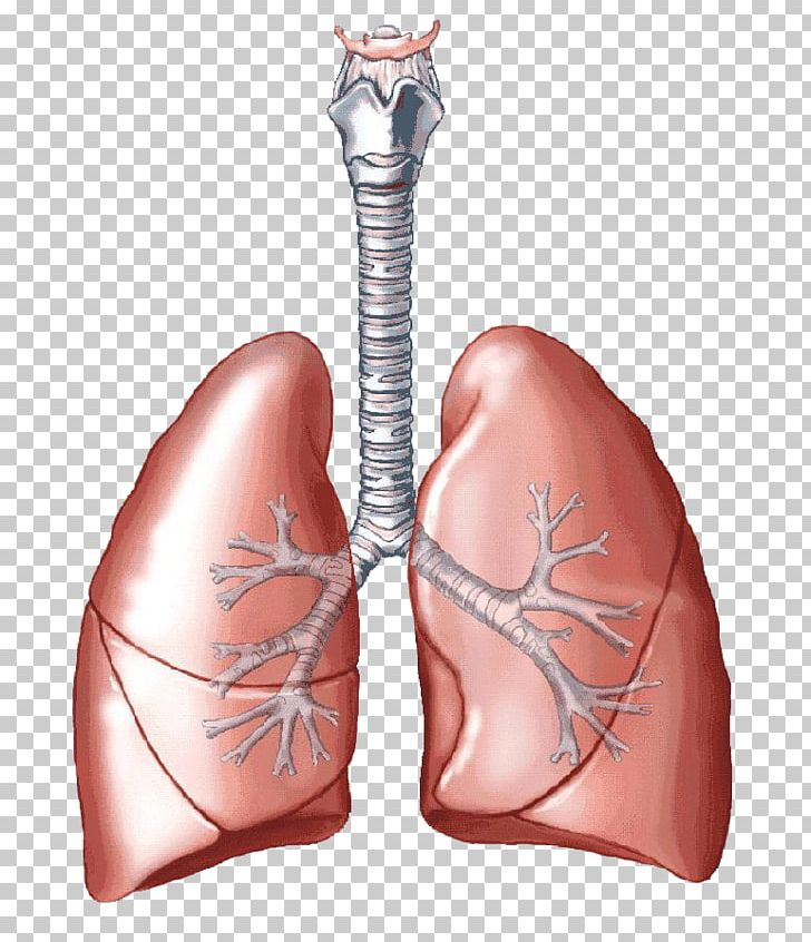 Lung Carbon Dioxide Breathing Respiratory System Human Body.