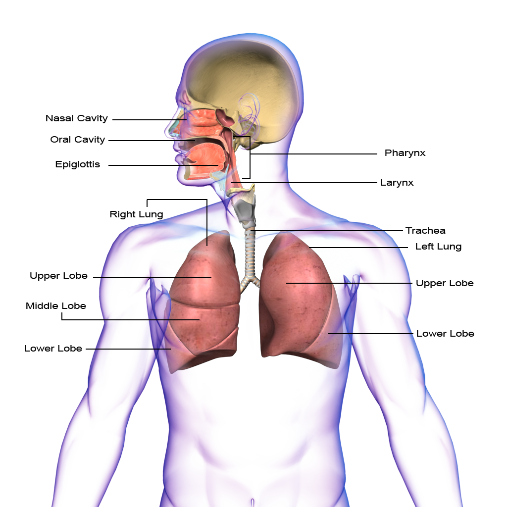 Lungs clipart respiratory system, Lungs respiratory system.