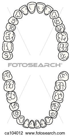 Clip Art of Teeth, permanent upper and lower ca104012.