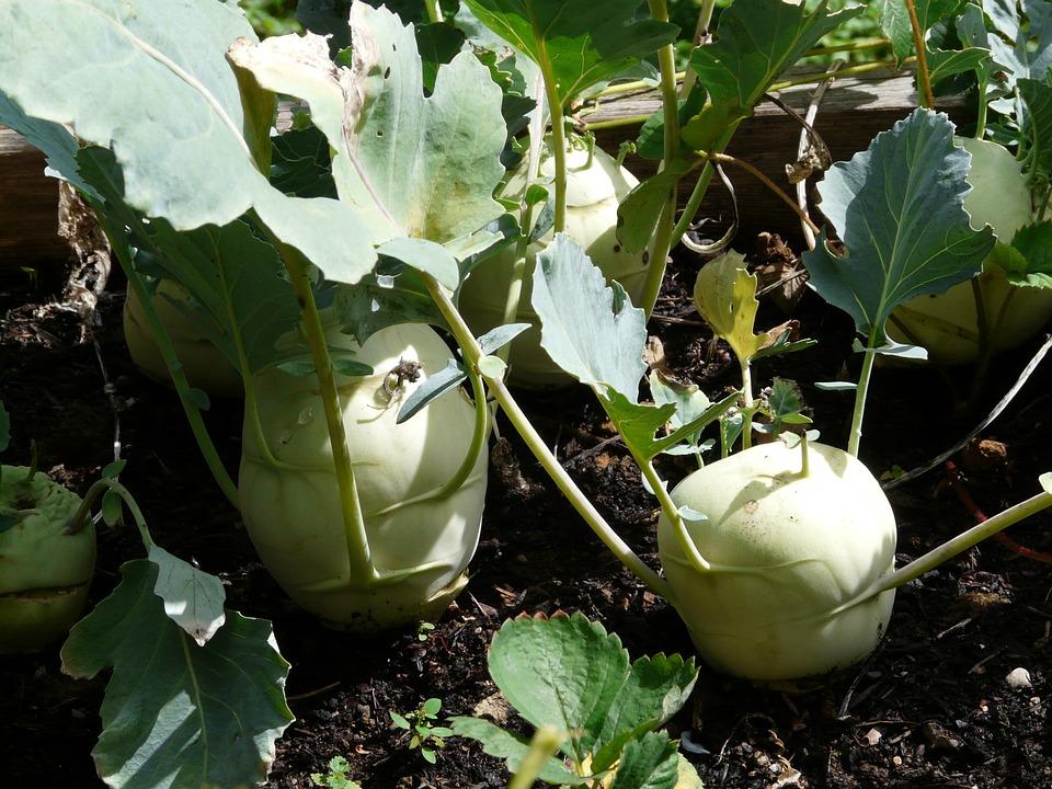 Free photo Kohl Turnip Brassica Oleracea Kohlrabi.