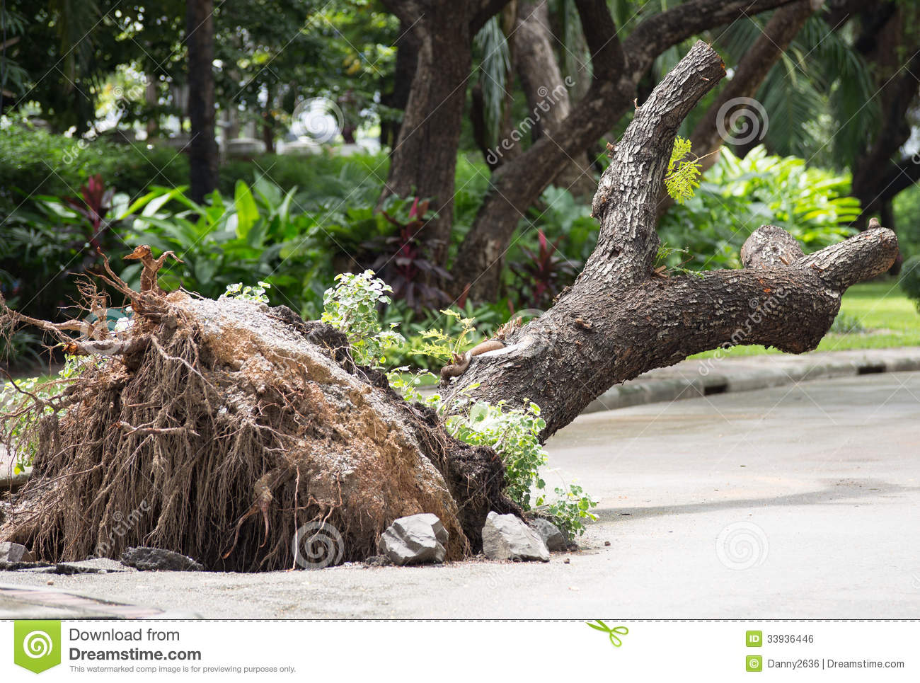 Fallen And Uprooted Tree Stock Photos.