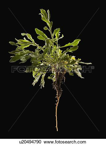 Stock Photography of Uprooted plant u20494790.