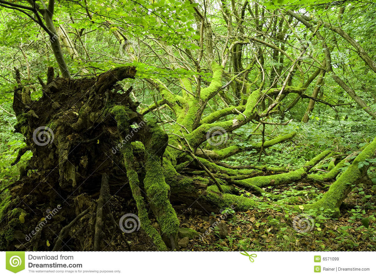 Uprooted Tree Stock Photos, Images, & Pictures.