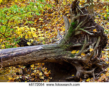 Stock Photo of Uprooted Tree k6172054.