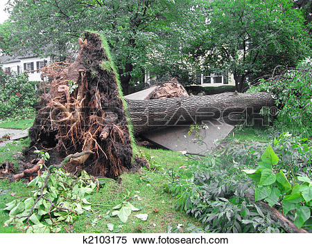 Stock Image of Uprooted Tree from a Storm k2103175.