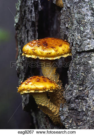 Picture of Tree FUNGI in New England deciduous FOREST.