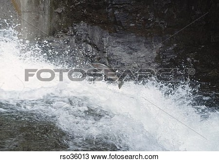 Swimming upstream clipart.