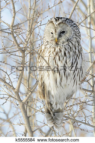 Stock Photo of Ural Owl k5555584.