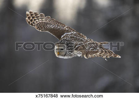 Pictures of Wild Ural owl (Strix uralensis) in flight, Estonia.
