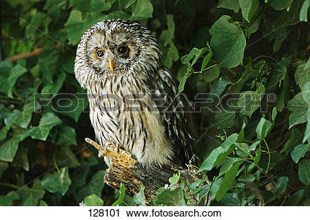 Stock Photography of Ural owl / Strix uralensis 128101.
