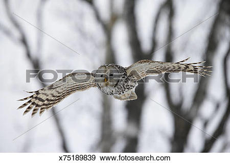 Stock Photograph of Wild Ural owl (Strix uralensis) in flight.