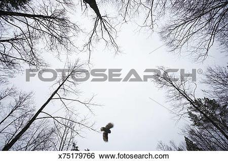 Stock Images of Wild Ural owl (Strix uralensis) in flight through.