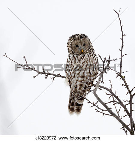 Stock Photo of Ural owl in natural habitat (strix uralensis.