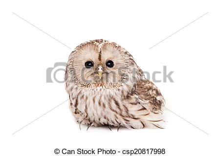 Stock Photographs of Ural Owl on the white background.