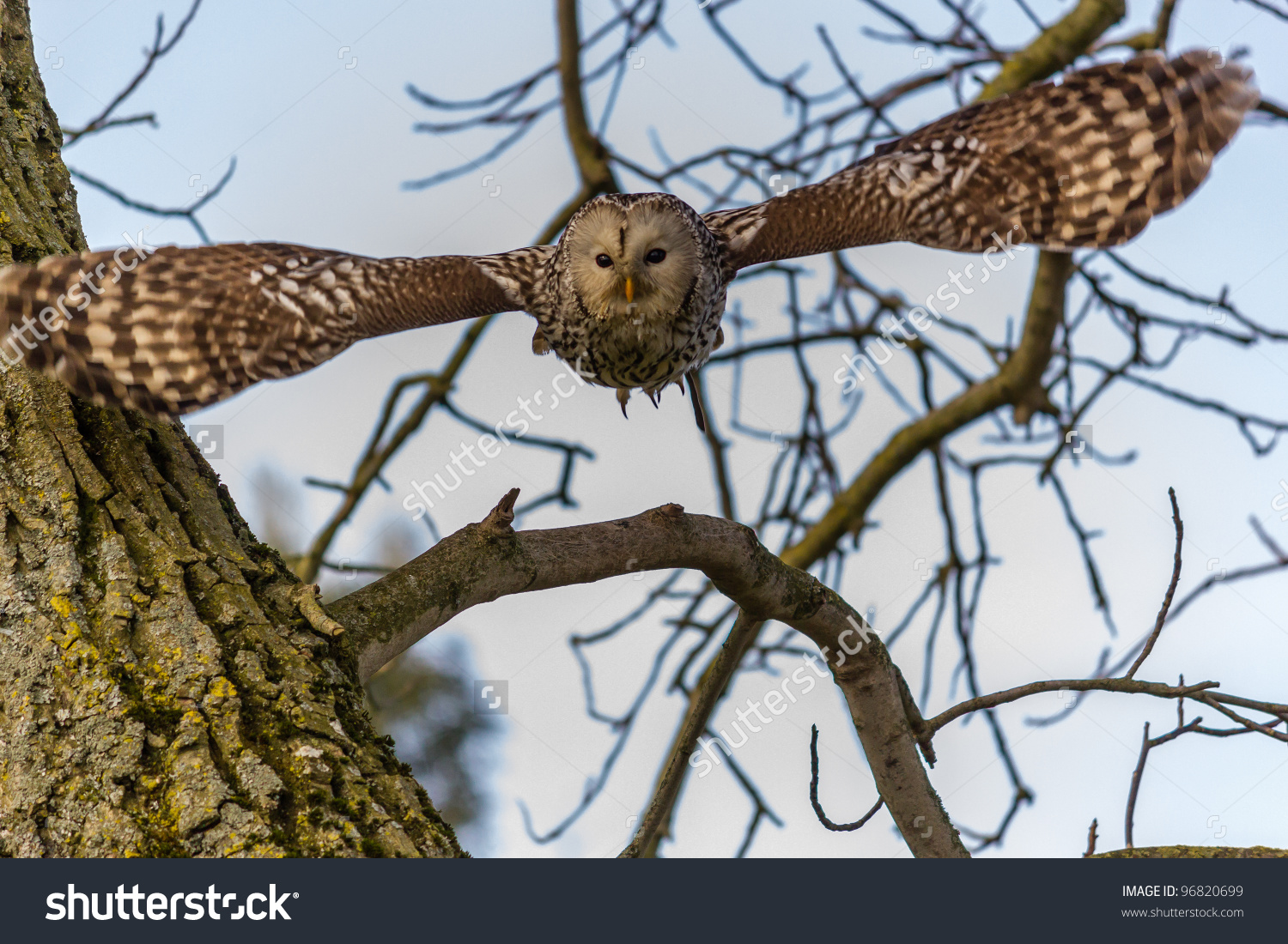 A Ural Owl Flies Out Of A Tree Toward The Camera Stock Photo.