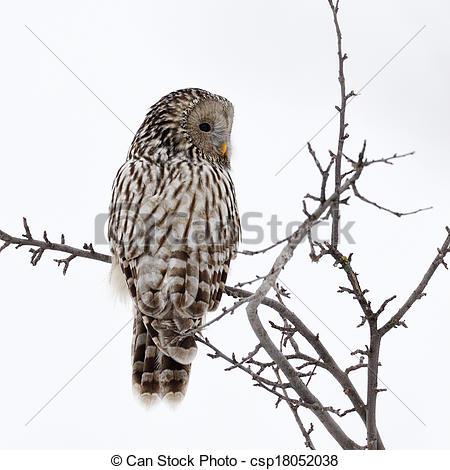 Stock Photos of Ural owl in natural habitat (strix uralensis) in.