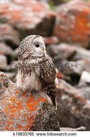 Stock Image of Ural owl k19833765.