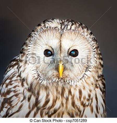Stock Photographs of Ural owl.