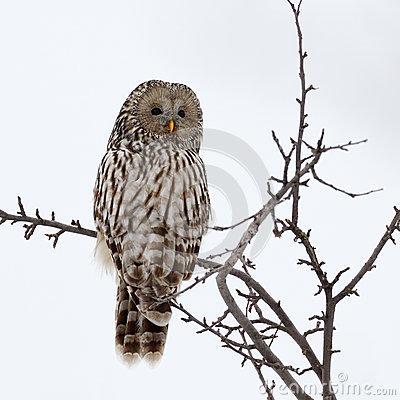 Ural Owl (Strix Uralensis) Perching On Wooden Tree Branch Stock.