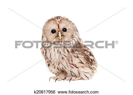 Stock Images of Ural Owl on the white background k20817956.