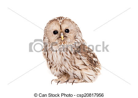 Stock Images of Ural Owl on the white background.