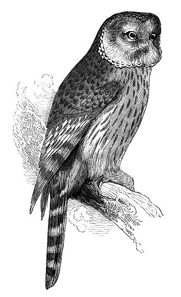 Ural Owl Clip Art, Vector Images & Illustrations.