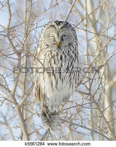 Stock Photo of Ural Owl k5561284.